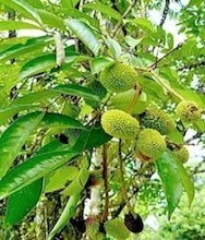picture of pulasan fruit on tree