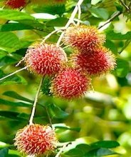 picture of bunch of red rambutans on tree