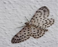 moth of malaysia picture