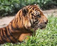 picture of a malayan tiger relaxing