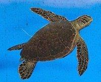 green turtle photo
