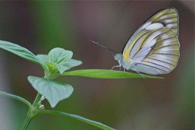 picture of an albatross butterfly in Malaysia