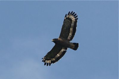 image of crested serpent eagle soaring high