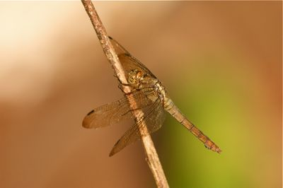 a dragonfly in Malaysia picture