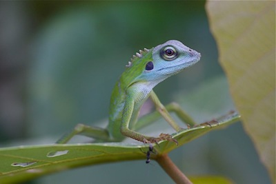 picture of a green crested lizard of malaysia