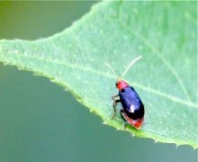 picture of a leaf beetle in malaysia