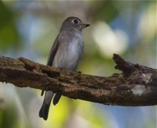 asian brown flycatcher picture