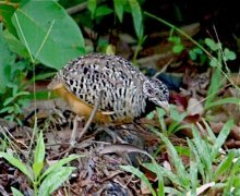 picture of a barred buttonquail
