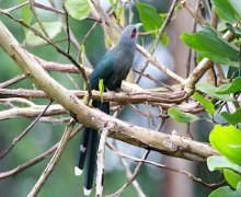 black-bellied malkoha