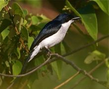picture of a black-winged flycatcher-shrike in Malaysia