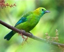 blue-winged leafbird (female)