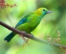 blue-winged leafbird (female)