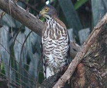 changeable hawk-eagle