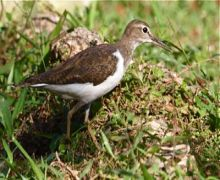 photo of common sandpiper