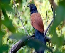 great coucal bird picture