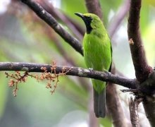 greater green leafbird (male)