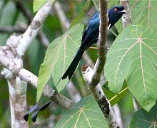 greater racket-tailed drongo (female)