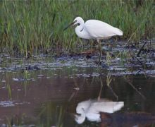 little egret in malaysia
