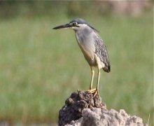 little heron in malaysia