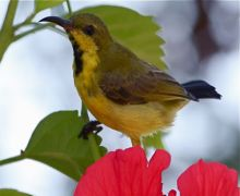 purple sunbird (male eclipse)
