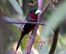 red and black broadbill