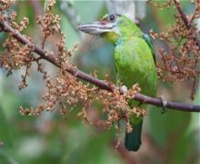 red-throated barbet (female)