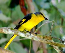 scarlet minivet (female) picture