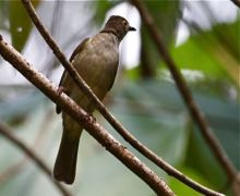 spectacled bulbul picture
