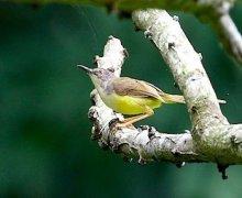 yellow-bellied prinia