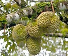 picture of ripe durians on tree