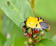 picture of yellow shieldbug in Malaysia