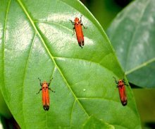 picture of leafhoppers on a leaf in Malaysia