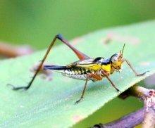 cricket specie found in malaysia