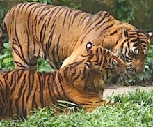 picture of two tigers playing