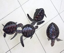 two days old turtle hatchlings photo