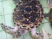 picture of young hawksbill turtle
