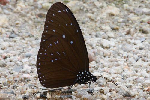 Danaidae euploea