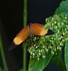 Banded Yeoman butterfly image
