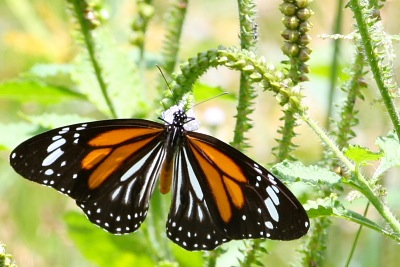 Black Veined Tiger butterfly with open wings