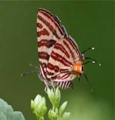 Club Silverline butterfly picture