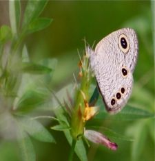 Common Four Ring butterfly picture