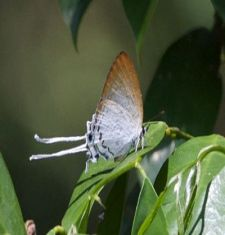 Common Imperial butterfly image