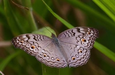 Grey Pansy butterfly image