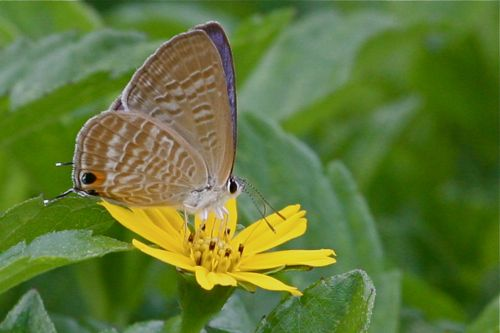peablue (male) butterfly picture