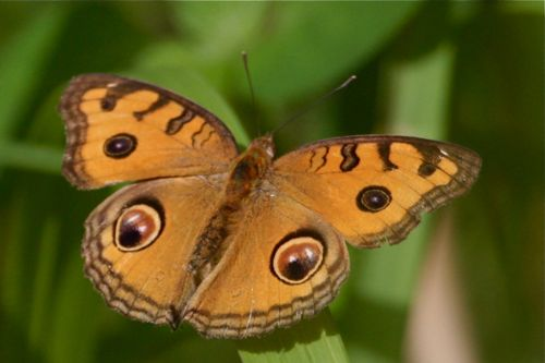 Peacock Pansy butterfly image