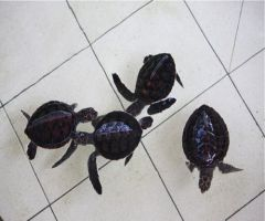 photo of green turtle hatchlings in the pond at sanctuary