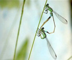 damselflies in mating position picture