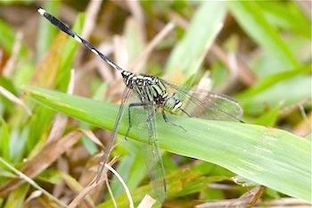 dragonfly of malaysia photo