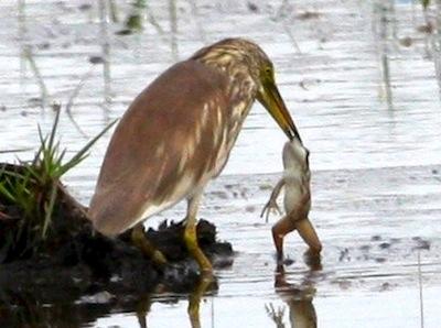 photo of bird eating big frog
