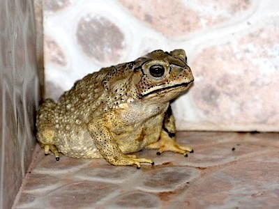 picture of toad found in malaysia
